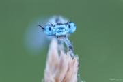 Sonnenaufgang Silbersee, Bobenheim-Roxheim, Makro, Macro, Libelle, Dragon fly, Stacking, Portrait, Tier, Animal