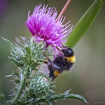 Kräppelweiher, Makro, Bobenheim-Roxheim, Hummel, Bumble Bee, Stacking, Macro, Sleep, Schlaf