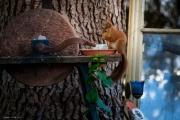 Eichhörnchen beim Futtern
